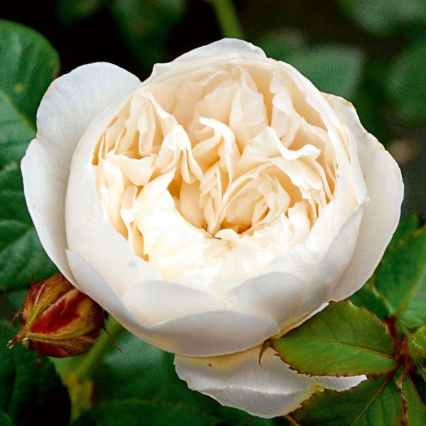 Rose »William & Catherine« 3er-Set