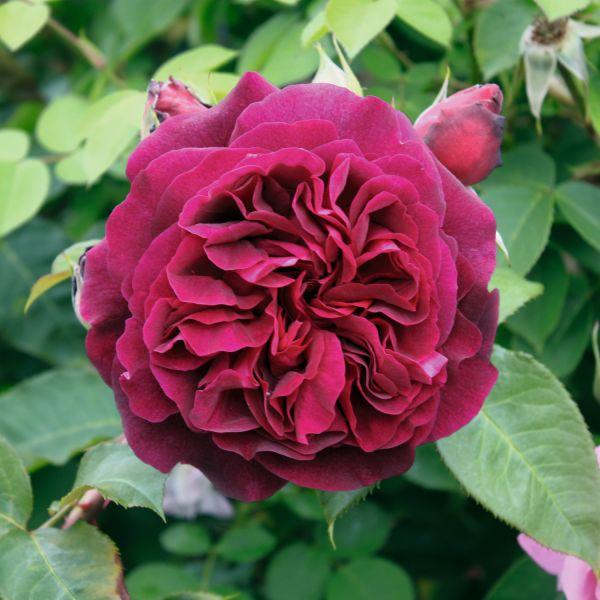 Rose »Munstead Wood« 3er-Set